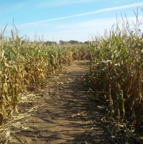Посевы кукурузы фото